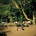 COLLECTIE TROPENMUSEUM Runderen van de Masai TMnr 20038848.jpg