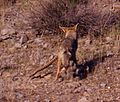 COYOTE and RATTLESNAKE 2-13-06 -5 (Carrizo Plain Nat Mon) (570335191).jpg