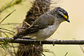 CSIRO ScienceImage 10355 Striated Pardalote Jamieson Victoria.jpg