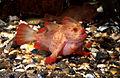 CSIRO ScienceImage 2535 The Red Handfish.jpg