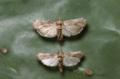 Cactoblastis cactorumIB0020-2.png