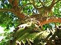 Caesalpinia echinata - Paubrasil.jpg