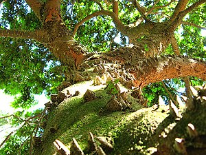 Paubrasilia - Image: Caesalpinia echinata Paubrasil