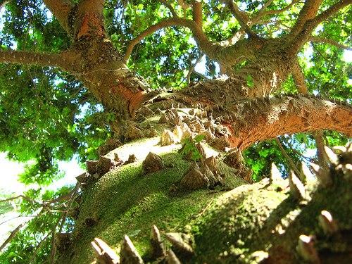 Caesalpinia echinata - Paubrasil