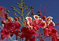 Caesalpinia pulcherrima, Guadeloupe.jpg
