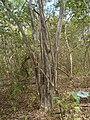 Caesalpinia pyramidalis.jpg