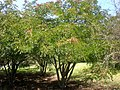 Caesalpinia spinosa 6c.JPG