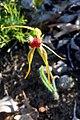 Caladenia magniclavata - cropped.jpg