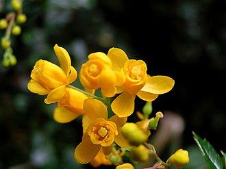 Berberis microphylla - Calafate Flower