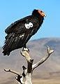 California condor -568. (35786702713).jpg