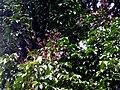 Callerya atropurpurea - feuillages.JPG