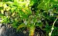 Callisia fragrans - Marie Selby Botanical Gardens - Sarasota, Florida - DSC01422.jpg