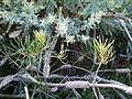 Callistemon pinifolius Montjuic 2.jpg