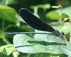 Calopteryx atrata male in Kiso Sansen National Government Park 2011-07-30.jpg