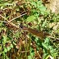 Calopteryx haemorrhoidalis. Copper Demoiselle. Female - Flickr - gailhampshire (1).jpg