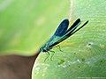 Calopteryx splendens 02.JPG