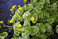 Caltha palustris 'marsh marigold' at RHS Garden Hyde Hall, Essex, England 02.jpg