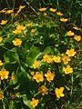Caltha palustris jfg1.jpg
