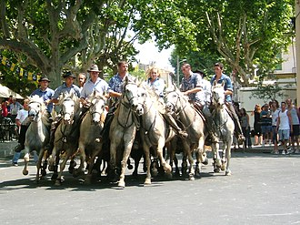 Calvisson - An abrivado at Calvisson. The guardians are demonstrating their skill in turn a group of at least four bulls through a 360 degree turn