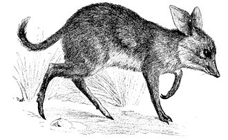 Pig-footed bandicoot - 1902 illustration