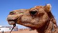 Camel - Saharauiak.jpg