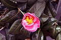Camellia japonica Pink Icicle 10zz.jpg