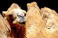 Camelo.jpg