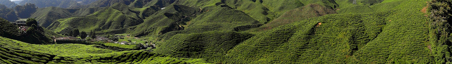 Cameron Highlands Tea Plantation banner.jpg
