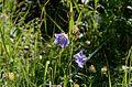 Campanula persicifolia2.jpg