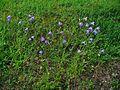 Campanula persicifolia 0001.JPG