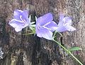 Campanula rotundifolia bgiu.jpg