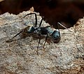Camponotus cinctellus, werkster, Voortrekkerbad.jpg