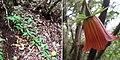 Canarina.canariensis.bosque.anaga.JPG