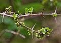 Canthium coromandelicum in Keesaraguda, AP W IMG 9056.jpg