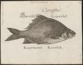 Carassius vulgaris - 1726 - Print - Iconographia Zoologica - Special Collections University of Amsterdam - UBA01 IZ15000041.tif