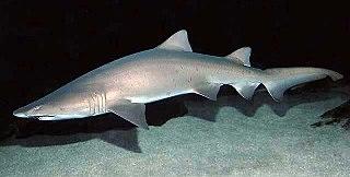 Sand tiger shark Species of shark