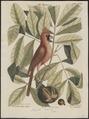 Cardinalis virginianus - 1700-1880 - Print - Iconographia Zoologica - Special Collections University of Amsterdam - UBA01 IZ16000137.tif