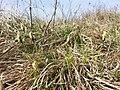 Carex caryophyllea sl2.jpg