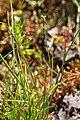 Carex dioica plant (02).jpg
