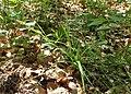 Carex strigosa kz01.jpg