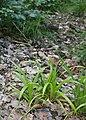 Carex strigosa kz15.jpg