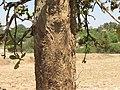 Careya Arborea024.jpg