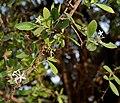 Carissa spinarum near Hyderabad W IMG 7614.jpg
