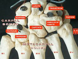 definition of metacarpus