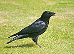 Carrion Crow (Corvus corone) - geograph.org.uk - 658585.jpg