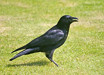 English: Carrion Crow (Corvus corone) Apart fr...
