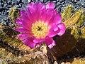 Caryophyllales - Echinocereus pentalophus - 2.jpg