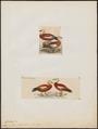 Casarca rutila - 1700-1880 - Print - Iconographia Zoologica - Special Collections University of Amsterdam - UBA01 IZ17600289.tif