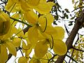 Cassia fistula (2293086668).jpg