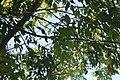 Cassia fistula 19zz.jpg
